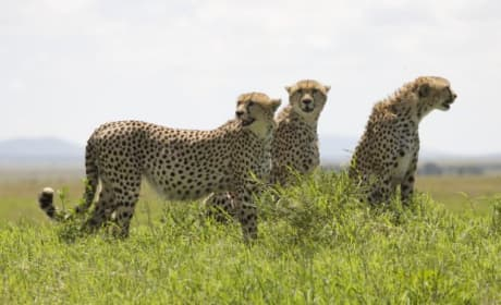 Cheetah Cubs All Grown Up