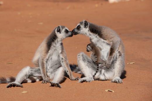Island of Lemurs: Madagascar Photo