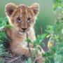 A Young Lion Cub