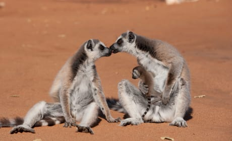 Island of Lemurs: Madagascar Photo
