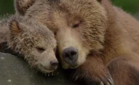 Bears Still