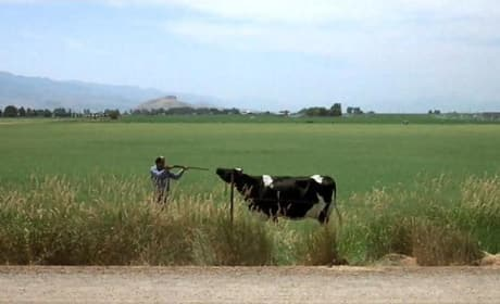 Napoleon Dynamite Cow