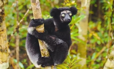 Island of Lemurs Madagascar Trailer: Nature's Greatest Explorers