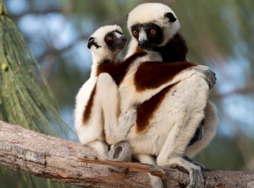 The Lemurs of Island of Lemurs: Madagascar