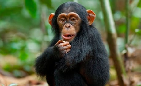 Chimpanzee Movie Review: Oscar's Amazing Story