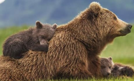 Bears Review: Disneynature Does it Again